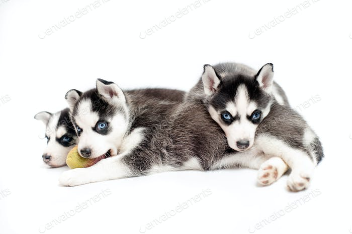 4 weeks old siberian husky puppies or cubs sleeping