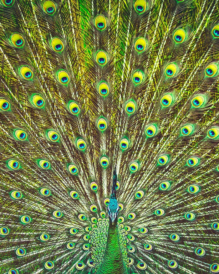 Amazing beauty of a peacock's tail