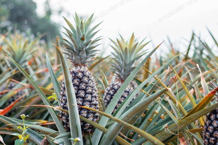 Pineapple growing at sky