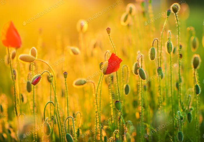 Flowering Spring Meadow