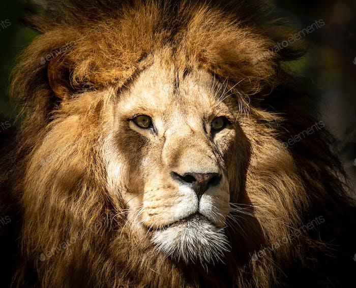 Portrait of a wild majestic male lion