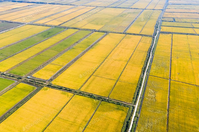 aerial view of paddy field in autumn,rice shrimp continuous cropping