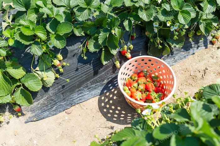 Picking of Fresh Strawberry in strawberry