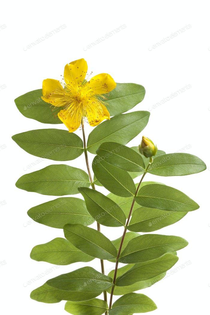 St John's wort flower and bud
