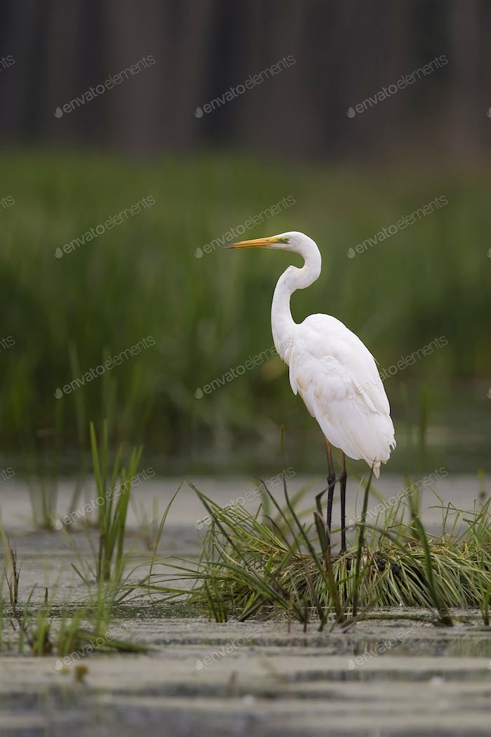 Great Egret in the wild