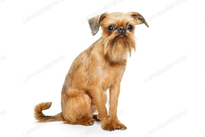 Griffon Bruxelles puppy