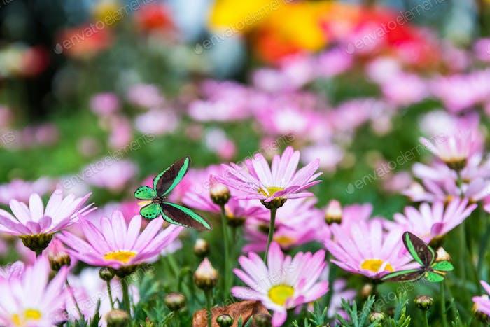 daisy flower with butterflies