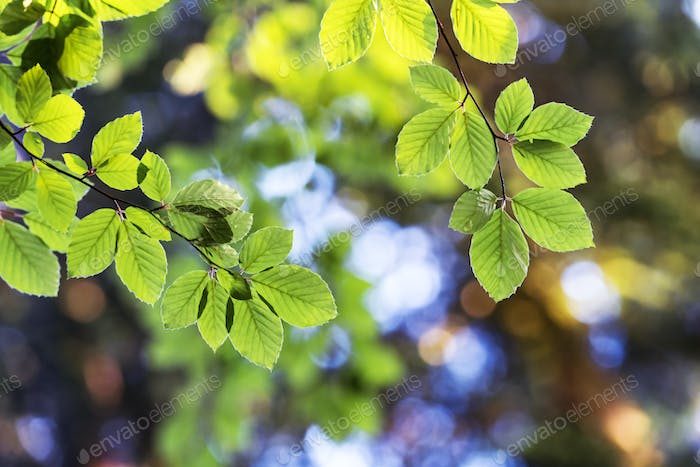 Closeup nature view of green beech leaf on spring twigs
