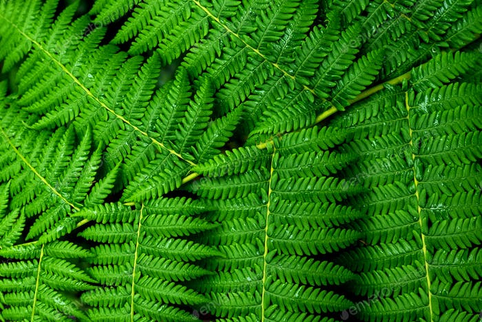 Fresh green fern leafs
