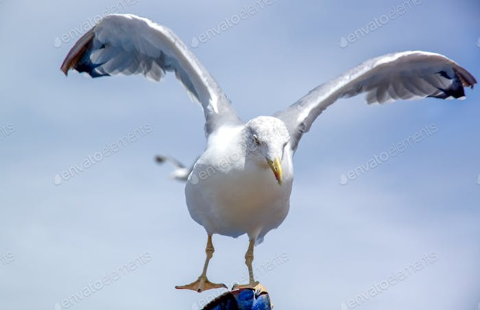 Seagull spreading wings