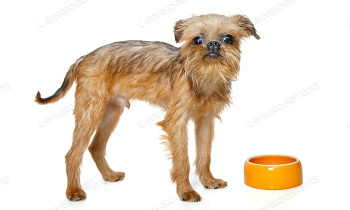 Griffon puppy eating from bowl