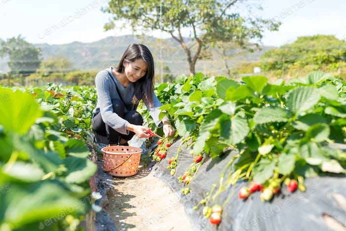 Woman picking strawberry