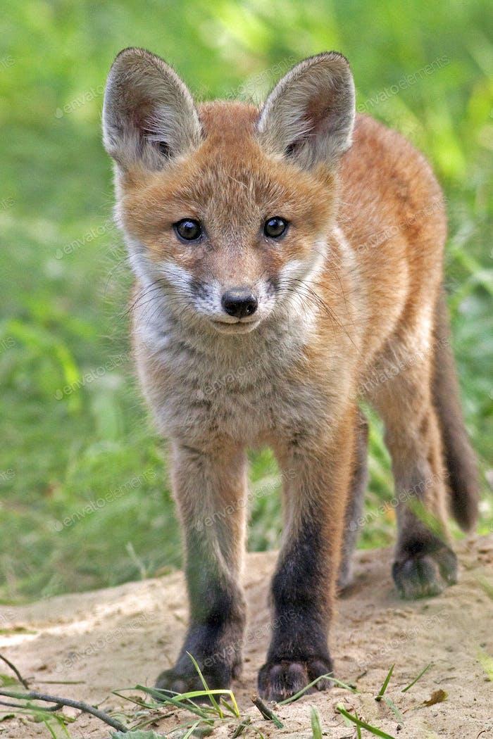 Fuchs in der Wildnis