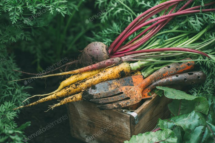 Harvest beets and carrots. Farm vegetables.