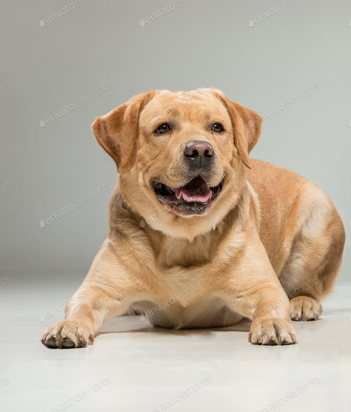 Labrador sitting in front of gray background