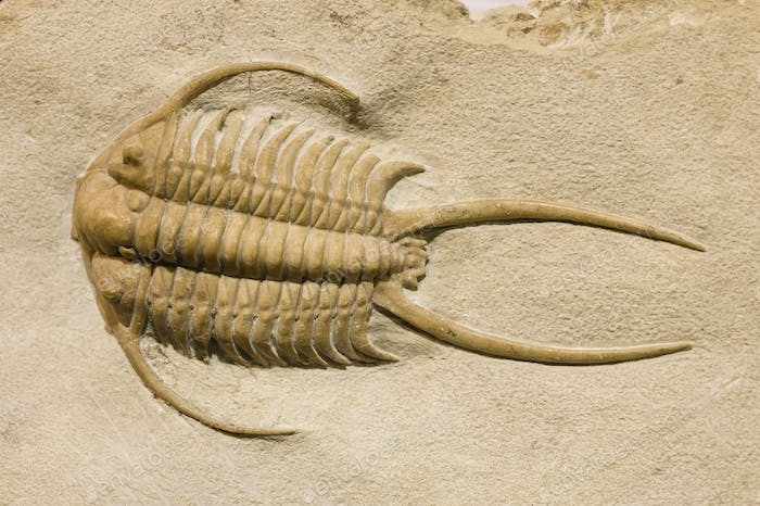 Trilobite fossil with thorns