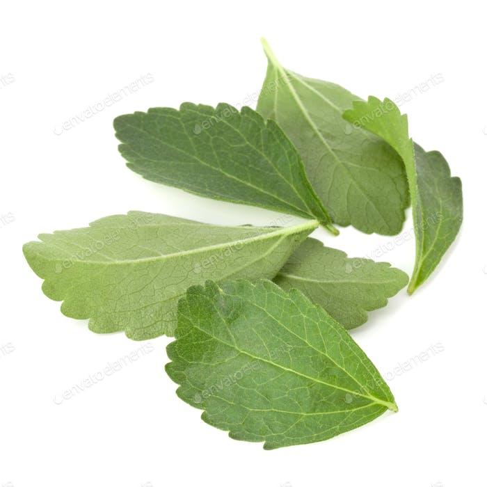 Stevia Blätter Stücke isoliert om weißen Hintergrund ausgeschnitten.