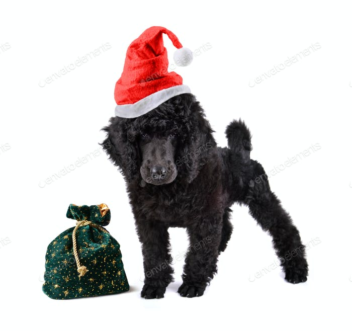 Puppy of black poodle
