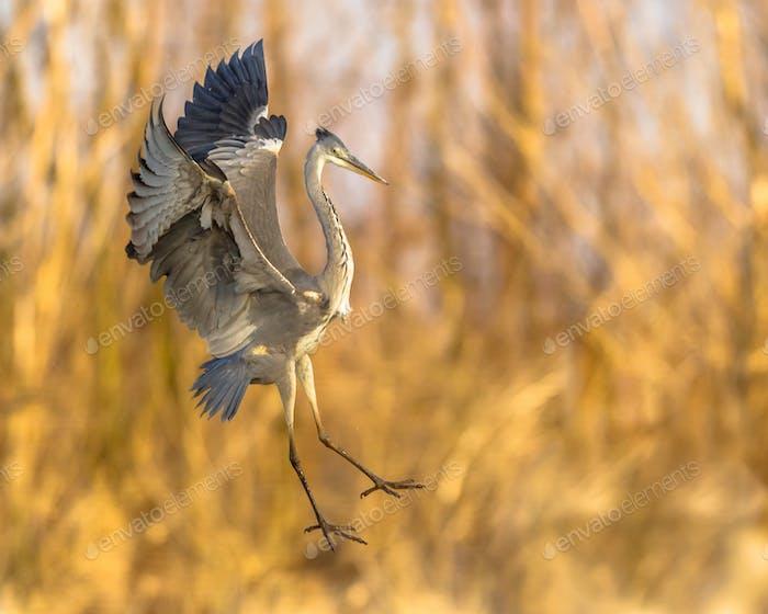 Grey heron flying preparing for landing