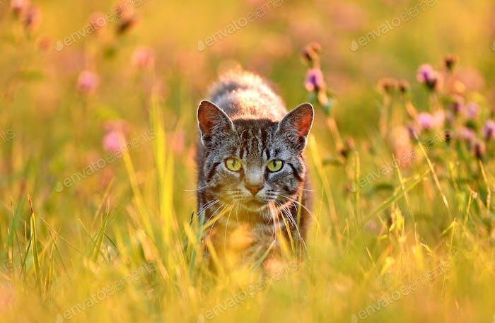 Cat in meadow, back lit by golden summer evening light