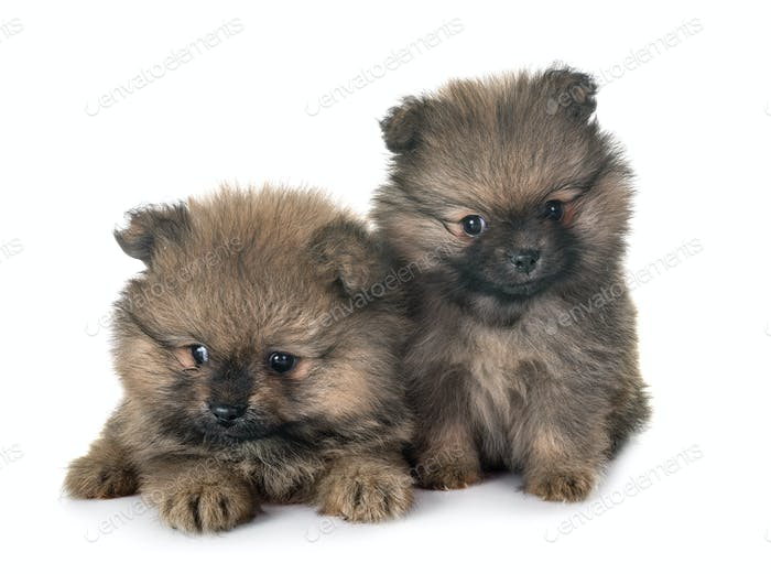 puppies pomeranian in studio