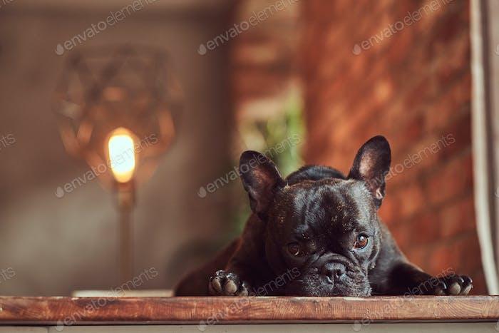Der  verärgerte schwarze Mops liegt auf einem Tisch im Studio mit einem Loft-Interieur.