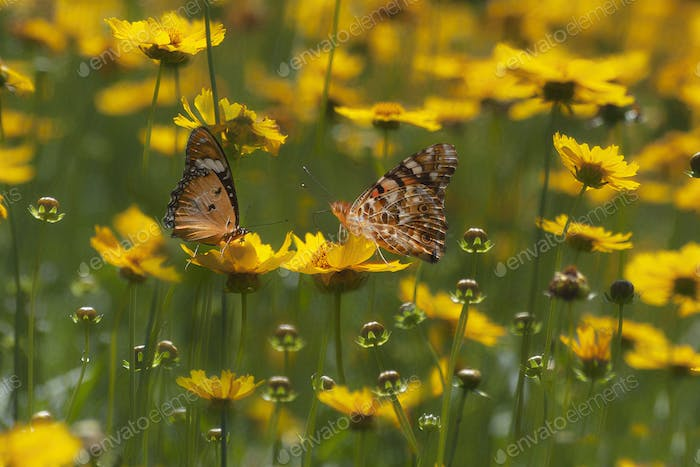Tawny Coster Butterflies Sitting on a Flower