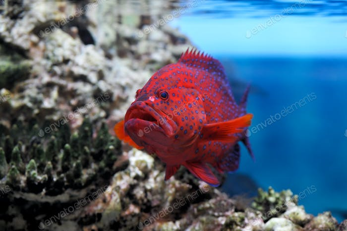 Roter Groper (Cephalopholis miniata)