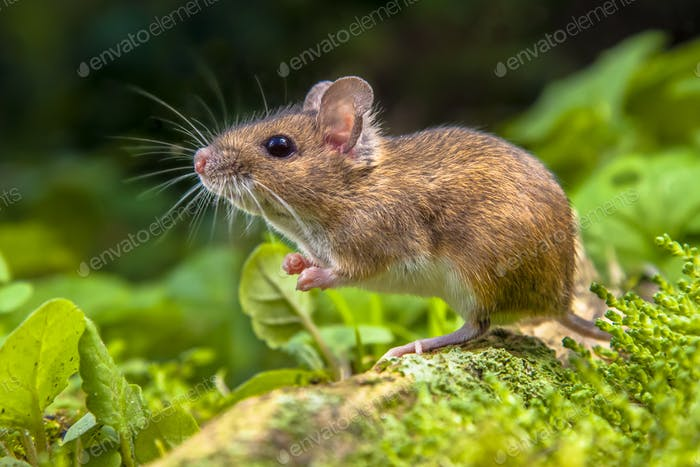 Cute Wood mouse on root of tree