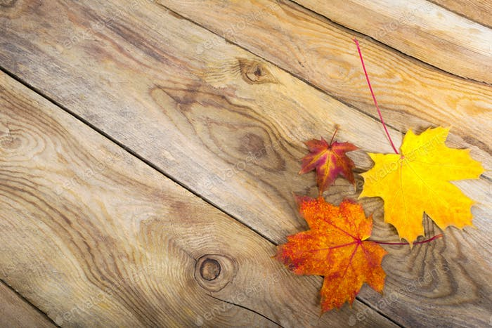 Thanksgiving background with three fall maple leaves, copy space