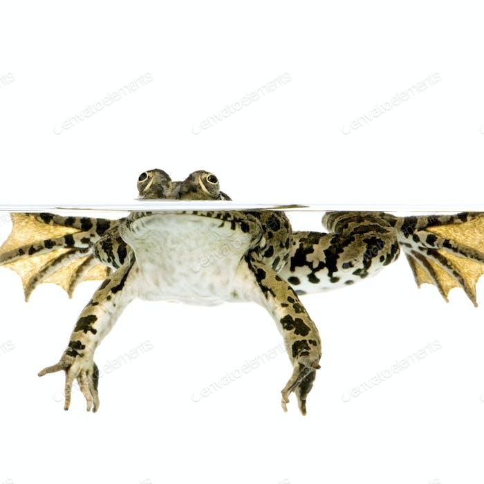 surfacing Frog