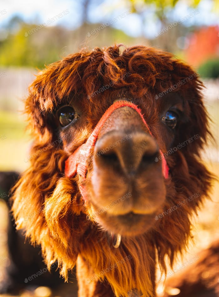 Ein schöner junger brauner Alpaka Lama posiert für die Kamera