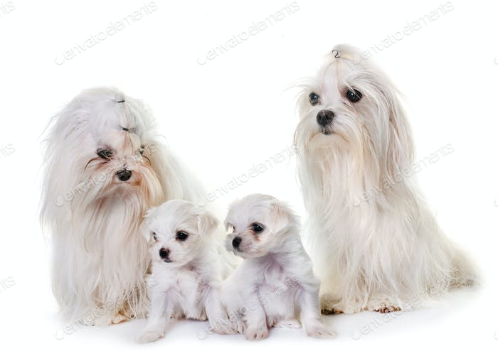 maltese dog family
