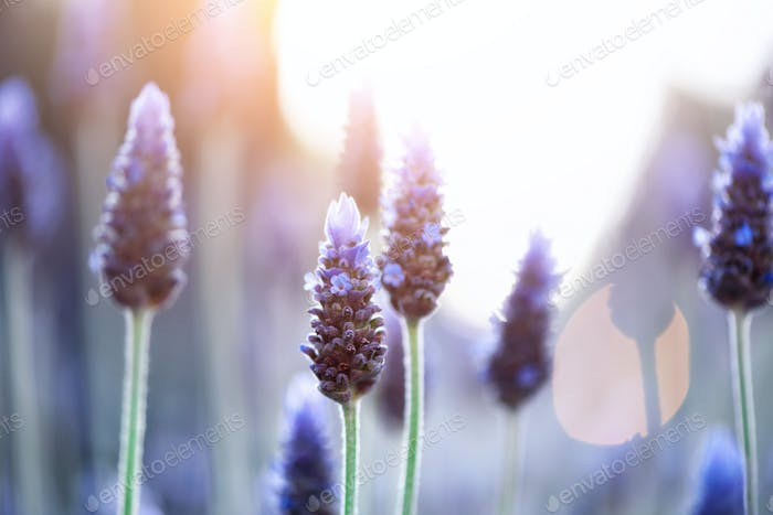 Lavender plant field. Lavandula angustifolia flower. Blooming violet wild flowers background with