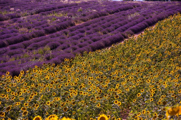 lavender and sunflower field france