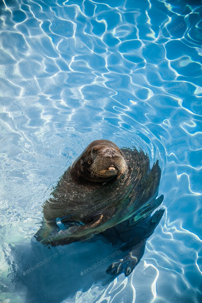 Funny Walrus in a pool looking at the camera