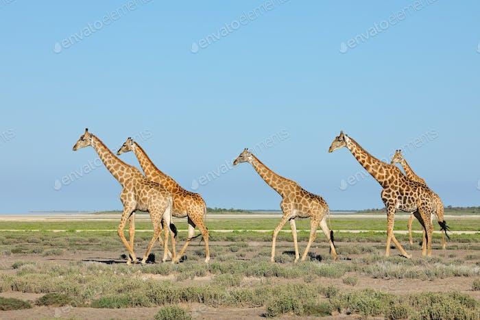 Giraffes walking over Etosha plains