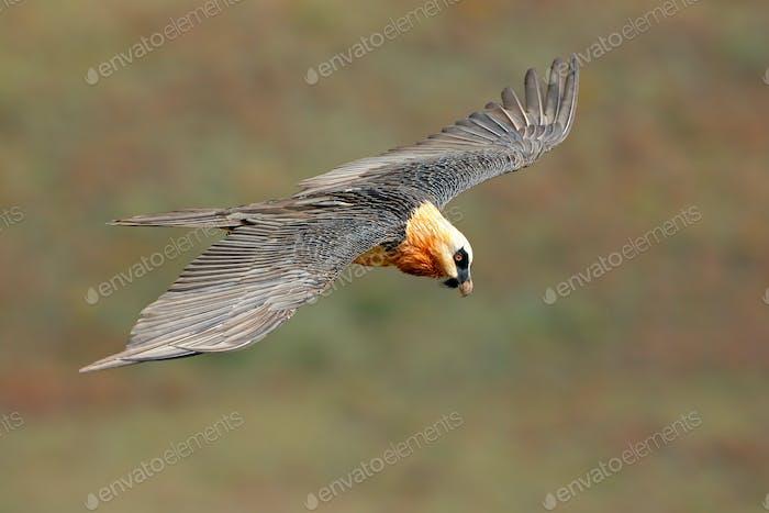 Bearded vulture in flight