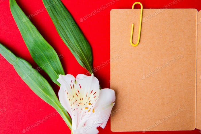 top view of an open postcard with paper clip and white color alstroemeria flowers on red background