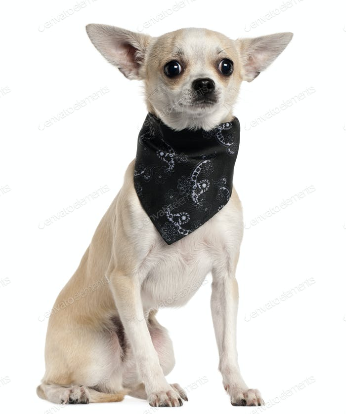 Chihuahua wearing handkerchief, 8 months old, sitting in front of white background