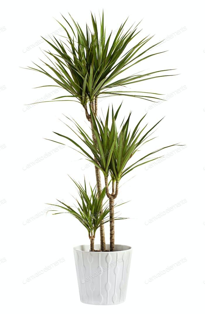 Yucca Pflanze in einem Behälter