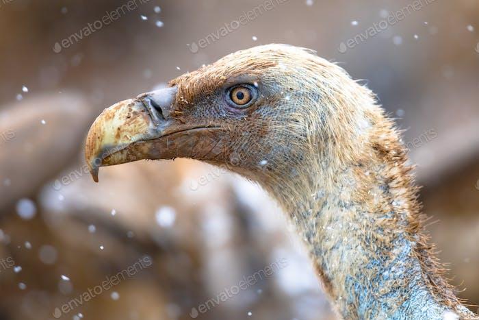 Griffon vulture portrait
