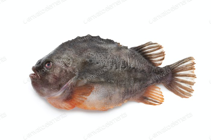Lumpsucker fish