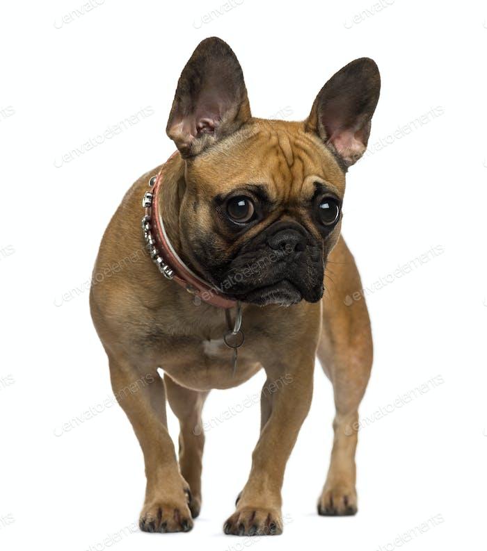 Französische Bulldogge stehend und Blick auf die Kamera
