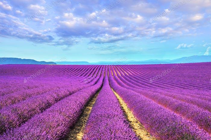 Lavendelblüten Felder endlose Reihen. Valensole provence