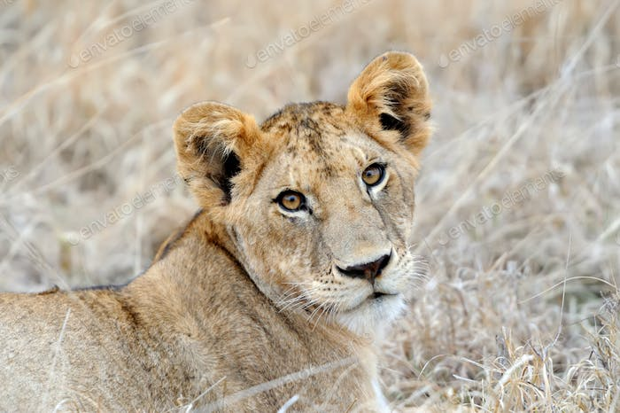 African lion in the Park South Africa