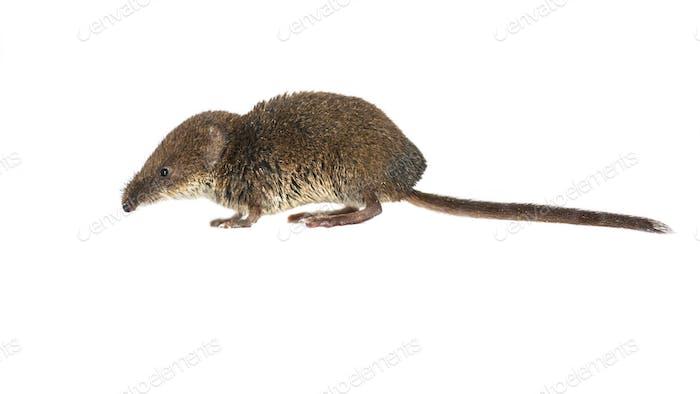 Pygmy shrew on white