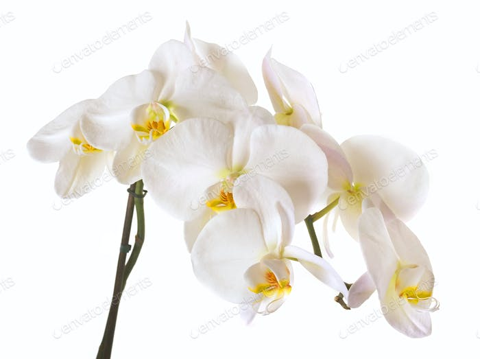 Blossoming orchid phalaenopsis