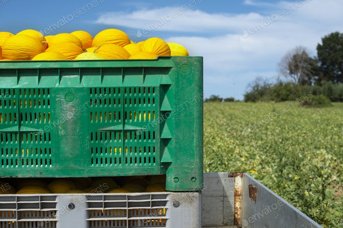 Canary melons in crate loaded on truck from the farm.