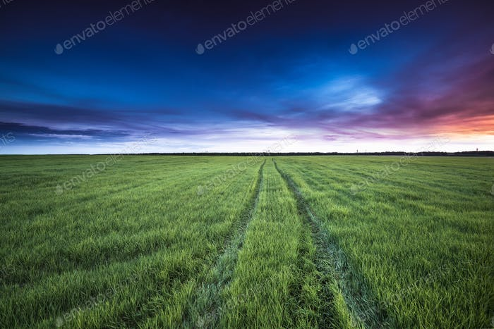 Rural Country Road Through Green Wheat Field At Late Spring Or E